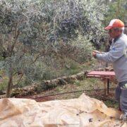 olivenhøst
